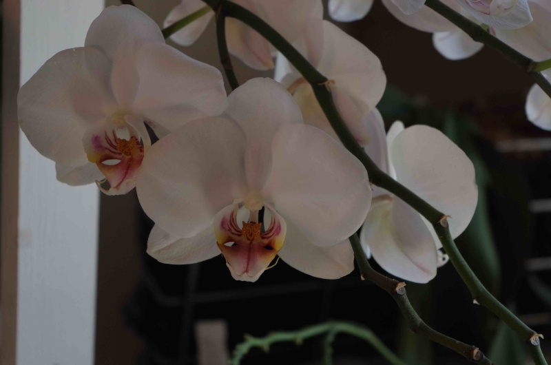 Phalaenopsis hybrides Imgp0716
