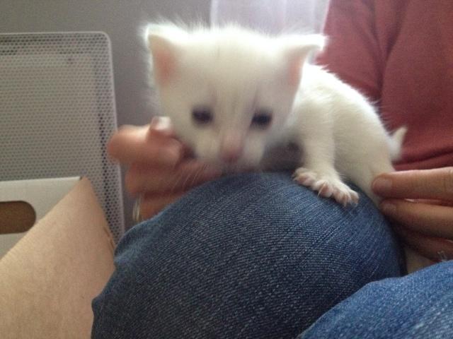Portée de 4 chatons blancs Img_7031