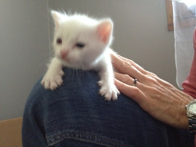 Portée de 4 chatons blancs Img_7032