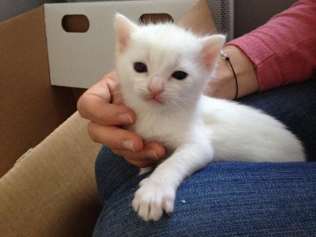 Portée de 4 chatons blancs Img_7033