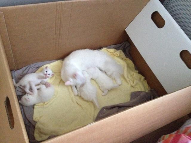 Portée de 4 chatons blancs Img_7034