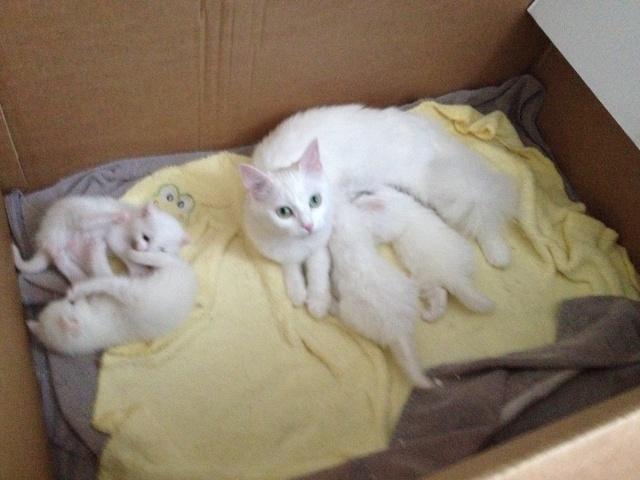 Portée de 4 chatons blancs Img_7035