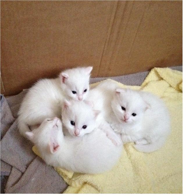 Portée de 4 chatons blancs Img_7060
