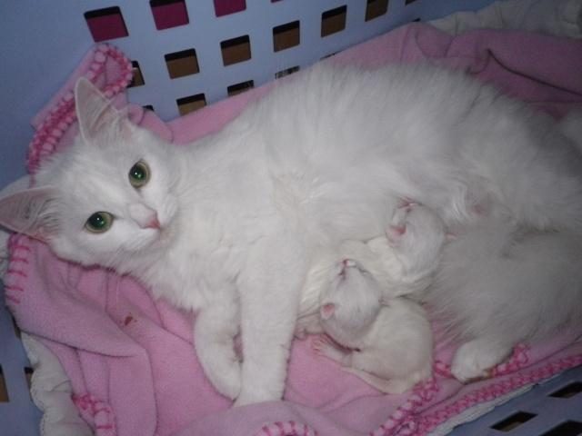 Portée de 4 chatons blancs Imgp5912