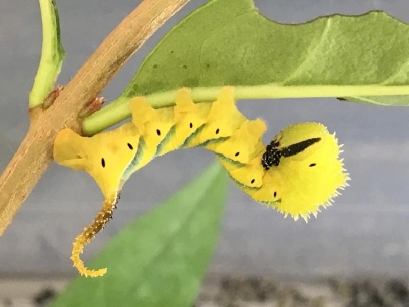 Chenille d'Acherontia atropos rose 4f8ac210