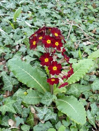 Primula vulgaris - primevère commune, primevère acaule P1000410