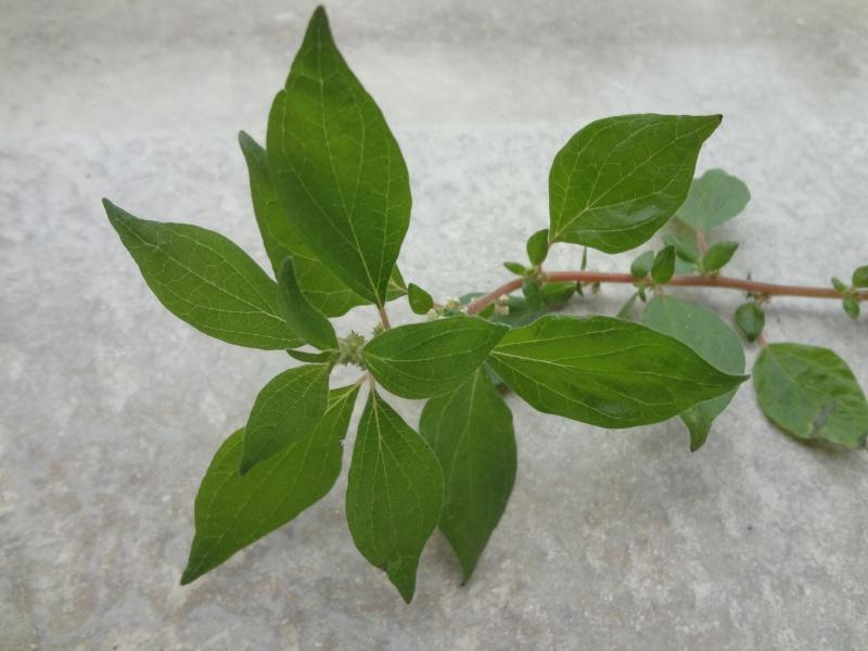 Identification plante hôte Dsc02410