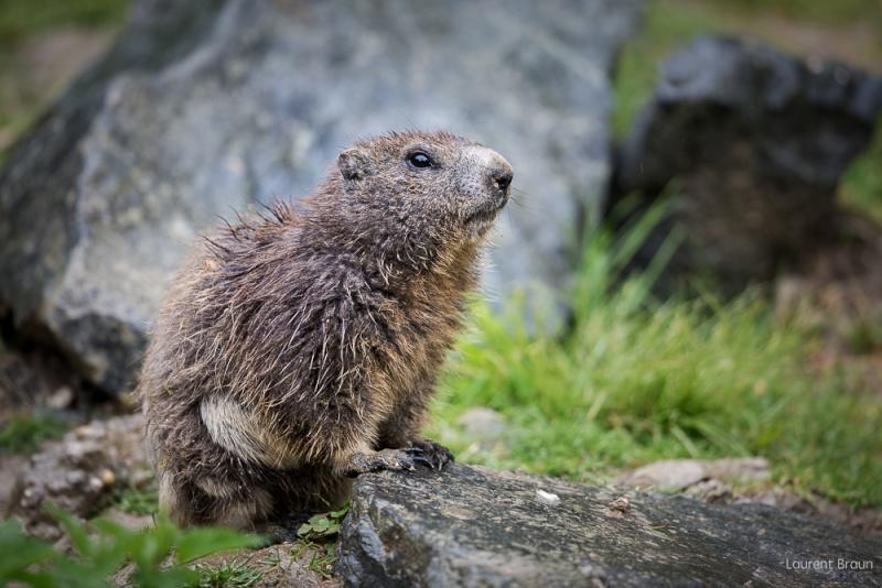 Marmotte Marmot11