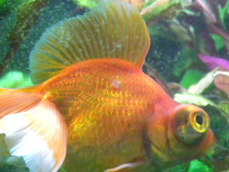 poisson japonais butterfly se cache depuis 2 jours Dscn5811