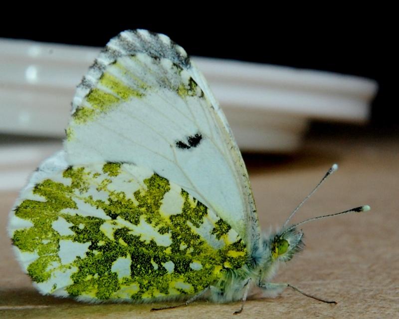[Anthocharis cardamines] Pontia daplidice Marbry10
