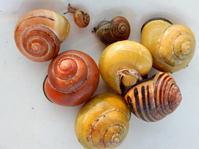 Escargot des haies - Cepaea nemoralis Dscn4014