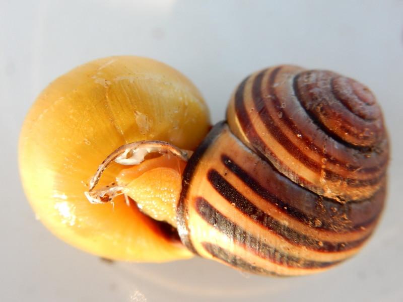 Escargot des haies - Cepaea nemoralis Dscn4015