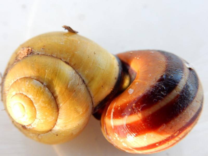 Escargot des haies - Cepaea nemoralis Dscn4016