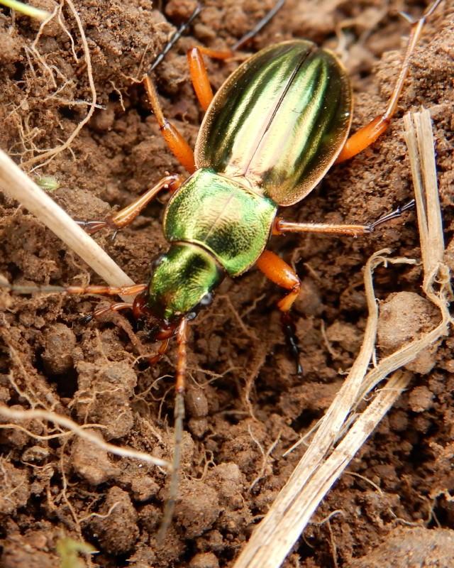 Mon ami est au rendez vous -scarabée doré- Dscn4710