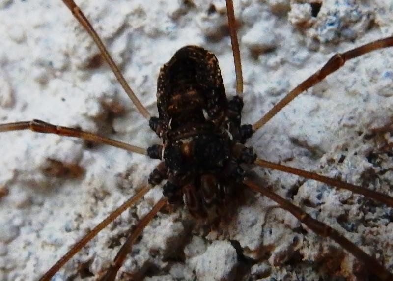 [résolu]Amilenus aurantiacus - femelle Dscn5321
