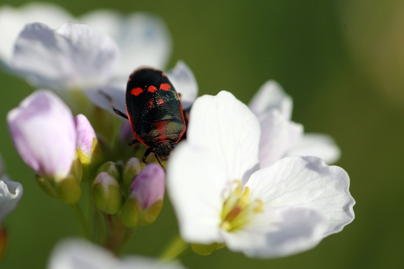 Eurydema oleracea [Eurydema oleracea] Img_0210