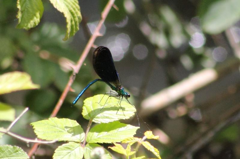 Calopteryx virgo meridionalis ? Img_7110