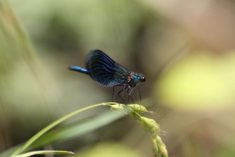 Calopteryx virgo meridionalis ? Img_7112