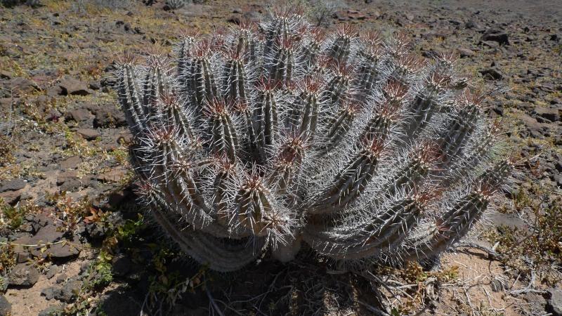 Euphorbia handiensis 15-03-10