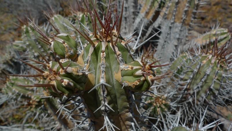 Euphorbia handiensis 15-03-11