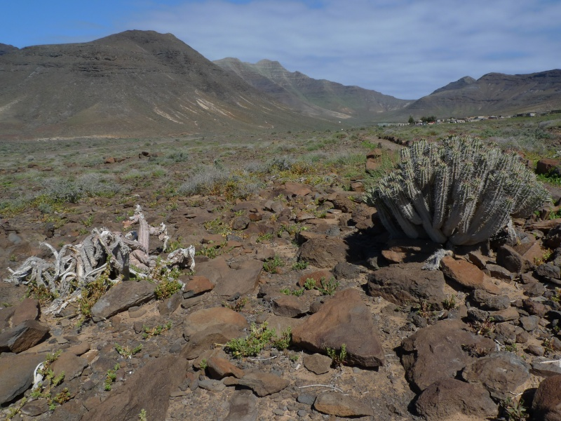 Euphorbia handiensis 15-04-12