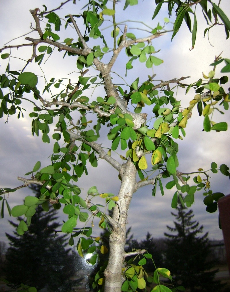 UPDATE - POST SCALE DAMAGE ADVICE NEEDED -campeche bloodwood raining leaves... again Campec12