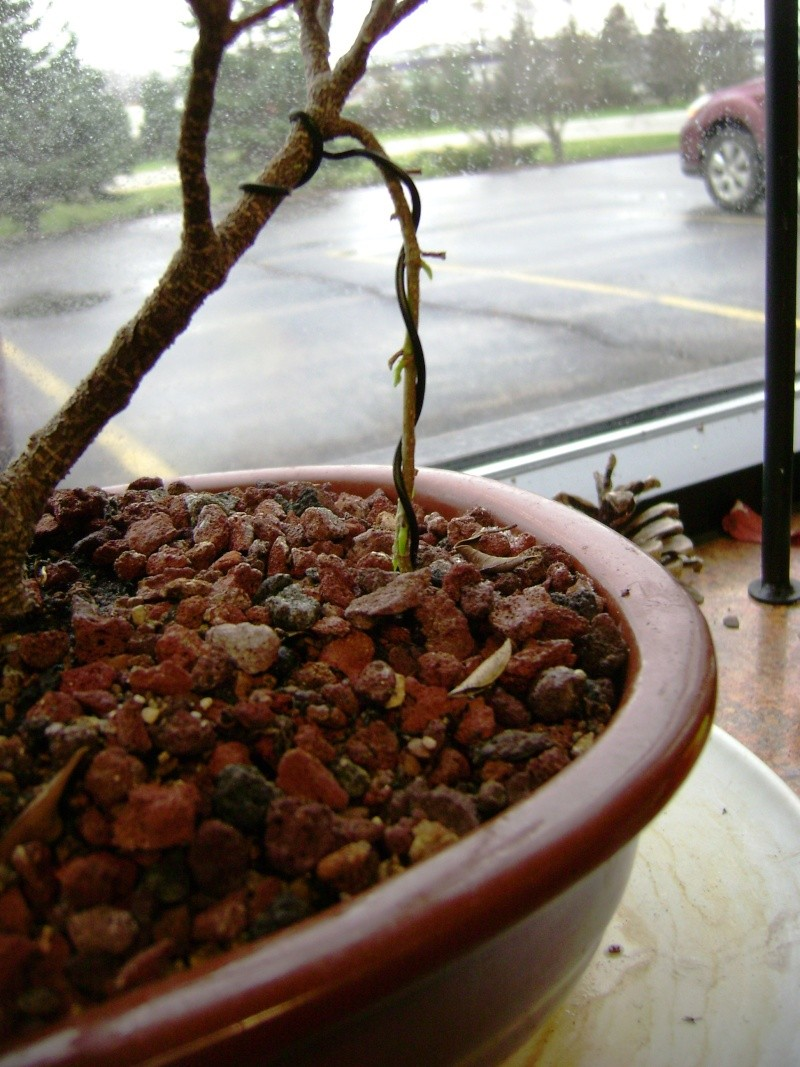 Aerial roots on a Ficus Ficus_11