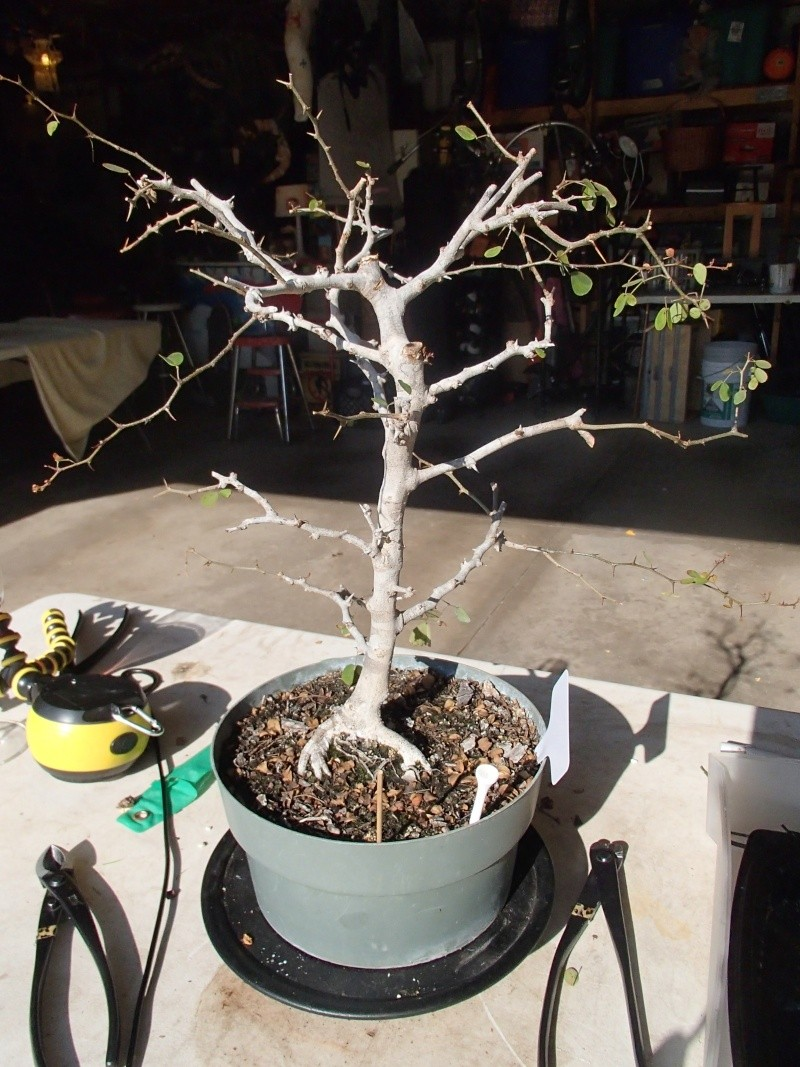 UPDATE - POST SCALE DAMAGE ADVICE NEEDED -campeche bloodwood raining leaves... again P5270010