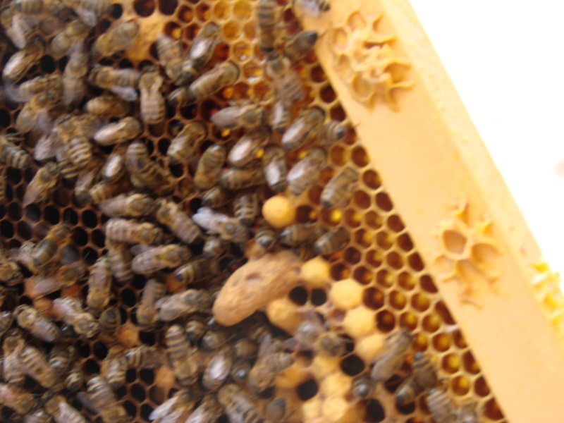Essaim artificiel avec plusieurs ruches - Page 2 Dsc01719