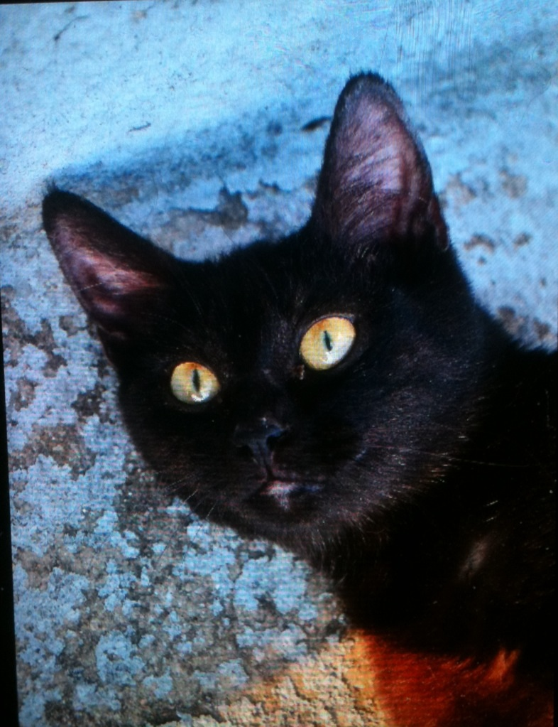 Jayane, femelle type européen noire, née le 07/12/2014, frais d'adoption libres Image47