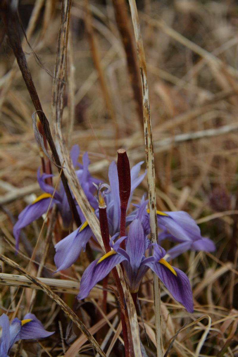 Iris Ethiopie Iris_410