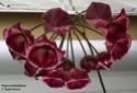 Hoya archboldiana 'Pink' Archbo15