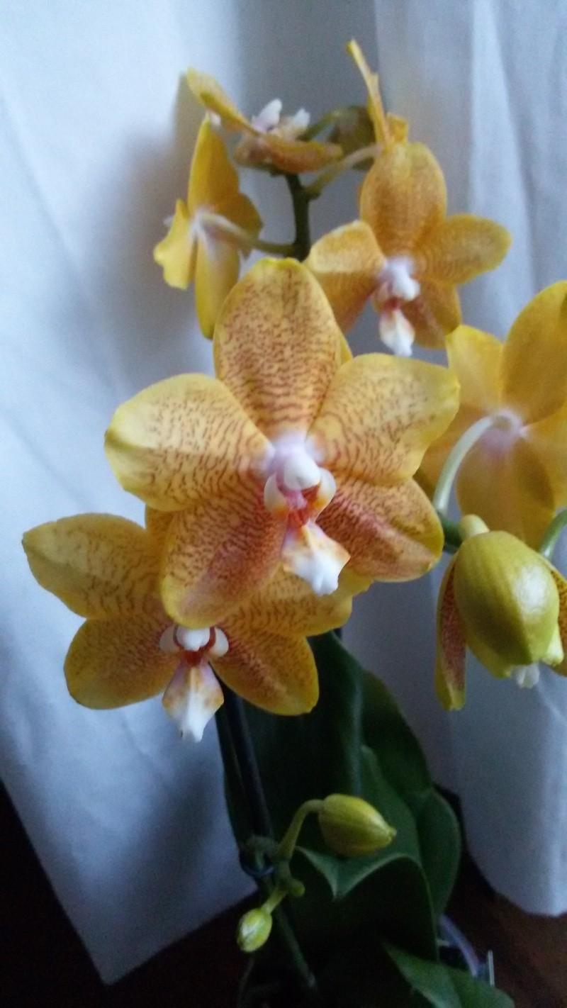 Orchideen-Neuzugang - Seite 4 Phal_a11