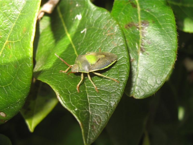 [Piezodorus lituratus + Cyphostethus tristriatus + Elasmucha grisea] Piezodorus lituratus Img_4919