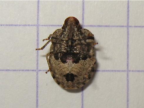 Quizz par en-dessous 1 (Dyroderes umbraculatus) Img_5112