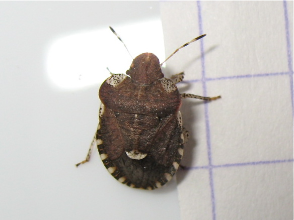 Quizz par en-dessous 1 (Dyroderes umbraculatus) Img_5118