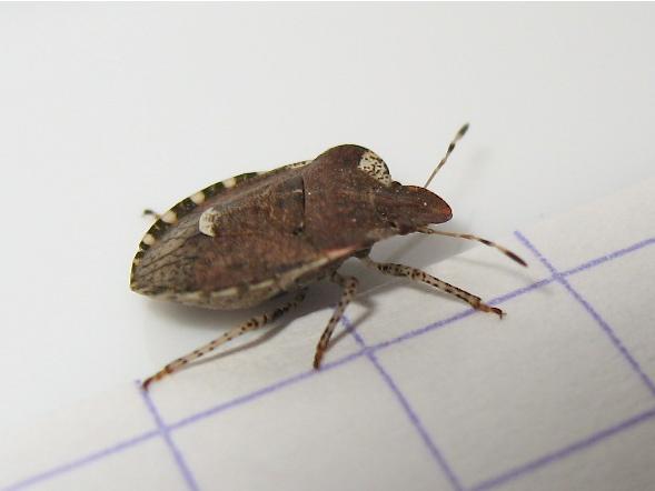 Quizz par en-dessous 1 (Dyroderes umbraculatus) Img_5119