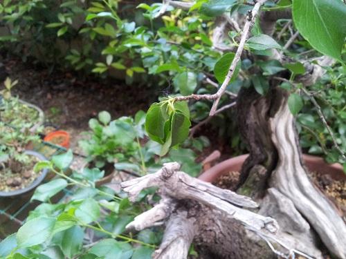 appassimento foglie prunus 117