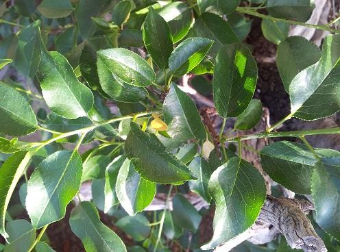 appassimento foglie prunus 1210
