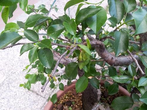 appassimento foglie prunus 512