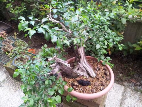 appassimento foglie prunus 812
