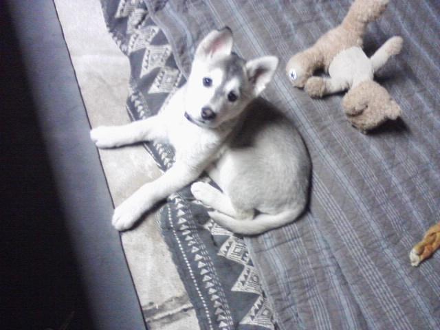 Is my puppy purebred?  Miya_910