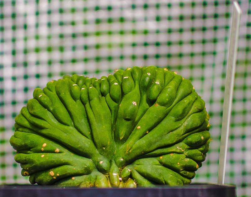 Trichocereus pachanoi Tricho10