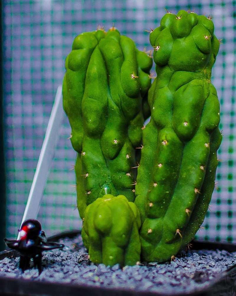 Trichocereus pachanoi Z-tric11