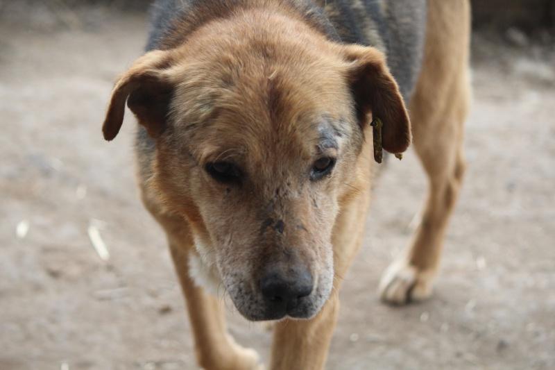 SIMBA, mâle âgé croisé berger taille moyenne né env 2005 (PASCANI)-En fourrière - Page 2 Img_4747