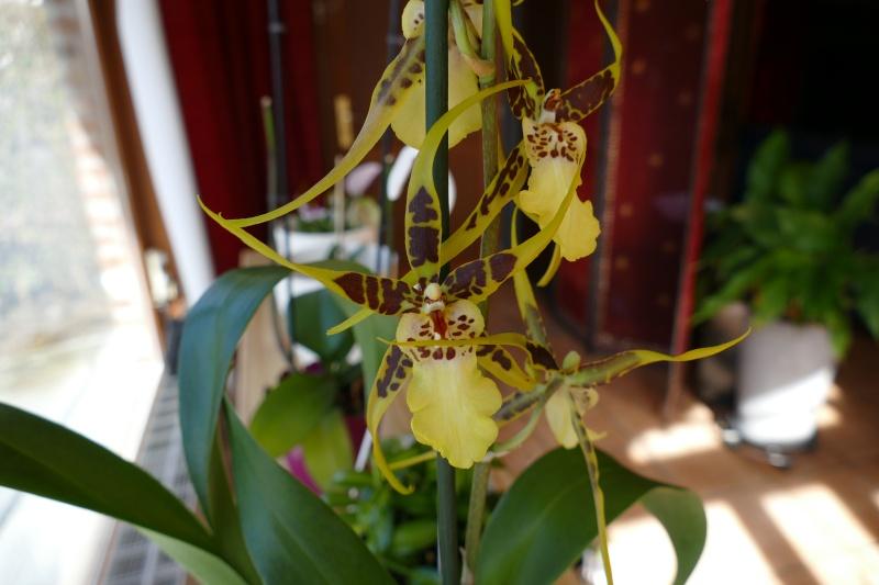 Mes premières orchidées P1000411