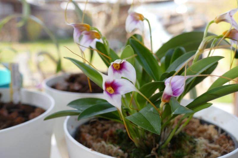 Mes premières orchidées P1000517
