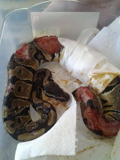 Serpent mal acclimaté ou stressé + proie vivante laissée toute une nuit Pr10