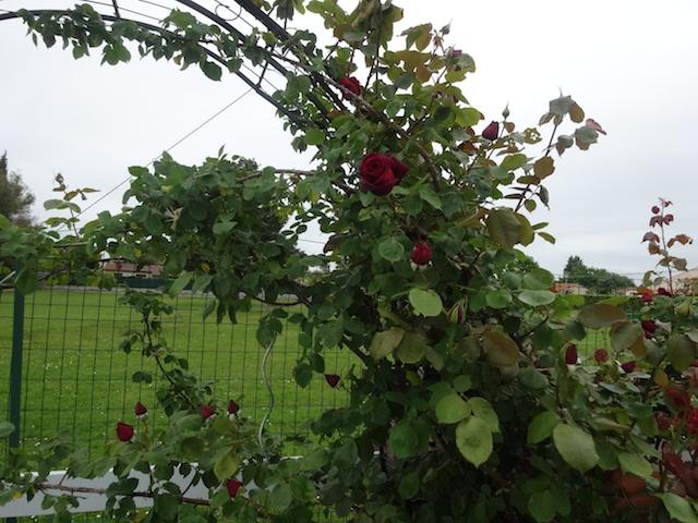 mon arche de rosier en 2014 Jardi134