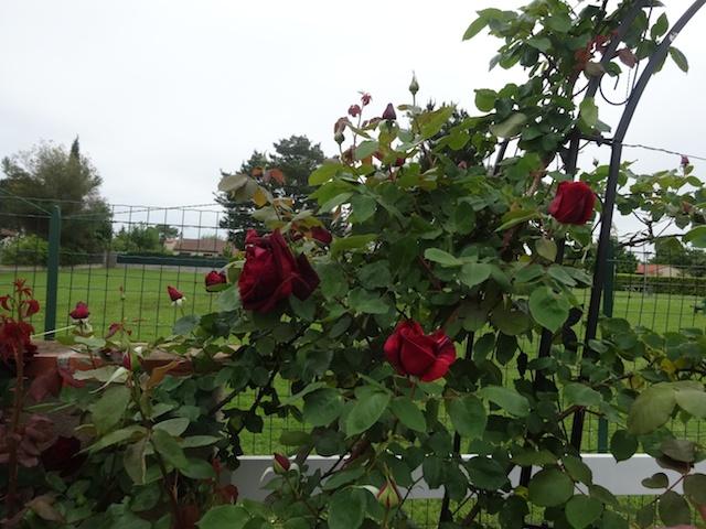 mon arche de rosier en 2014 Jardi135